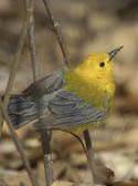 Prothonotary Warbler in Forest Park NYC