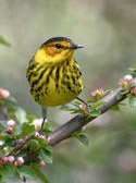 Cape May Warbler in Central Park NYC
